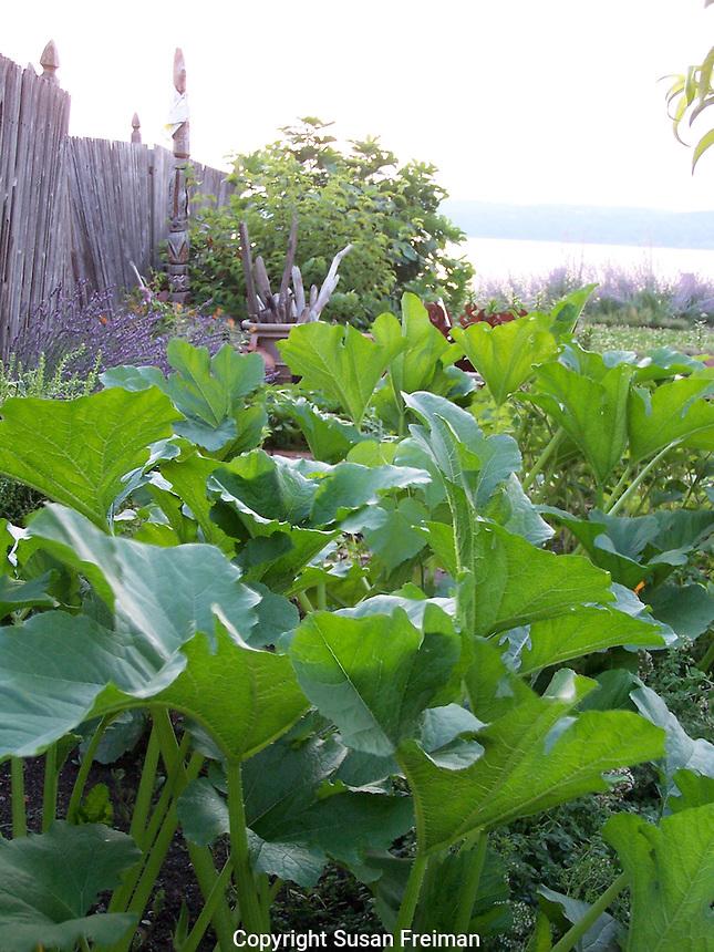 Squash plants, Joan Gussow's garden, July