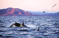 Killer whale Orcinus orca Juvenile porpoising during feeding event, Vestfjord, Arctic Norway, North Atlantic