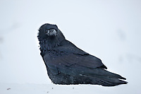 Common raven on the snowy tundra in arctic, Alaska.