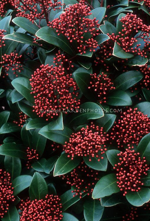 Skimmia japonica 'Rubella' (Female form in berry)