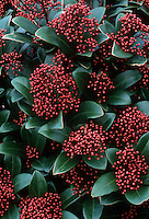 Skimmia japonica 'Rubella' (Female form in berry)