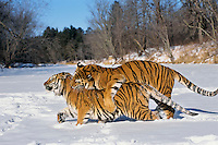 Siberian Tigers (Panthera tigris) mating behavior