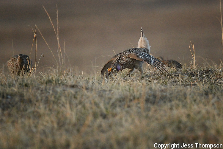 Sharp-tailed Grouse on a lek in Nebraska.