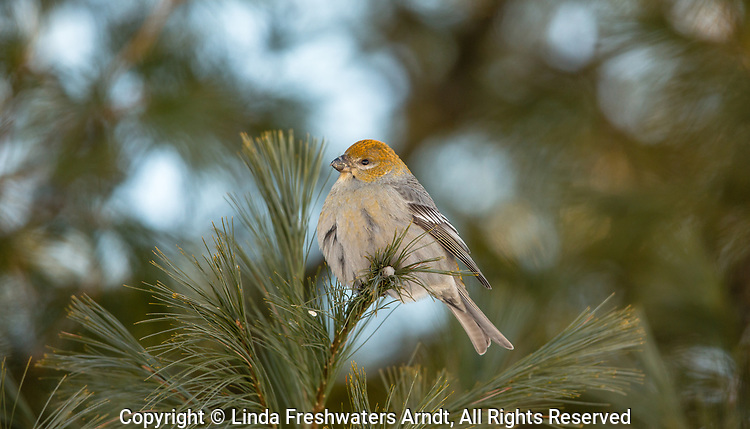 Female pine grosbeak on a cold northern Wisconsin day.