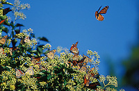 Monarchs<br /> Danaus plexippus<br /> nectaring on English Ivy<br /> on southbound migration<br /> NJ, Cape May