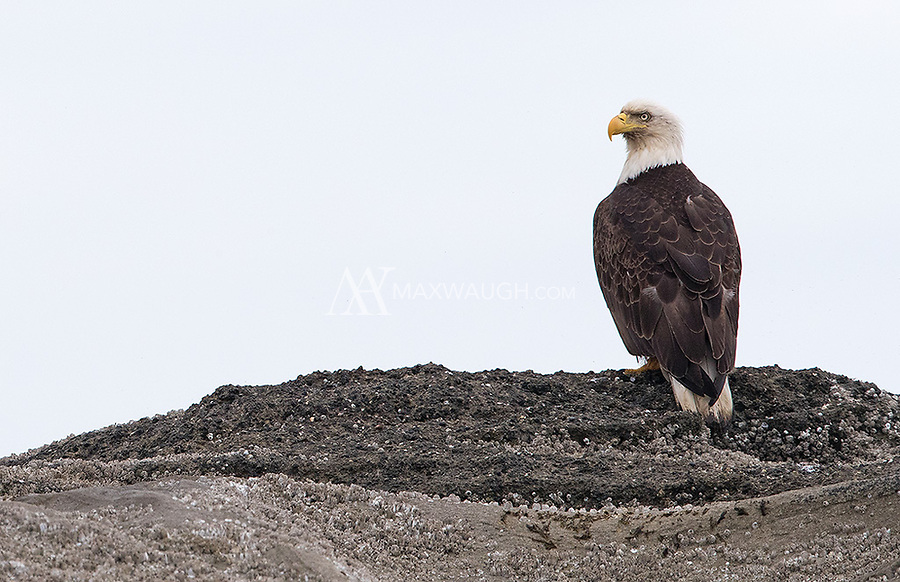 This Bald eagle found a perch on a small islet in the San Juans.