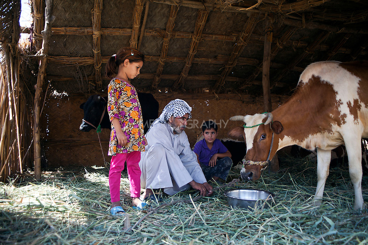 ABU AL-NRSI, IRAQ: Hania watches her uncle Mhebis feed a cow. Hania's father was killed in Fallujah during the sectarian violence. ..Dozens of families displaced by years of violence have been forced to return to the district of Chebaish...Photo by Ali Arkady/Metrography