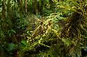 Adult spiny moss-mimic bush cricket or katydid (unknown species)(Tettigoniidae) in forest interior of mid-altitude montane rainforest, Manu Biosphere Reserve, Peru.
