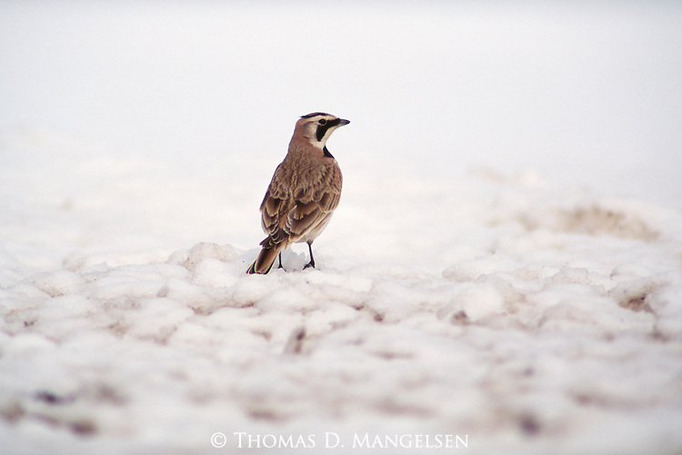 Horned Lark standing on the snow covered ground.