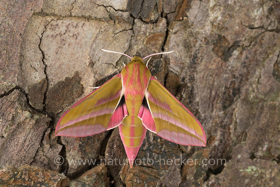 Mittlerer Weinschwärmer, Deilephila elpenor, Elephant Hawk-moth, Elephant Hawkmoth, Le Grand sphinx de la vigne, Schwärmer, Sphingidae, hawkmoths, hawk moths, sphinx moths