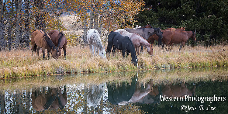 horses watering in autumn