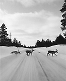 FINLAND, Arctic, reindeers crossing road