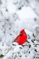 01530-20918 Northern Cardinal (Cardinalis cardinalis) male in American holly tree  (Ilex opaca) in winter, Marion Co., IL