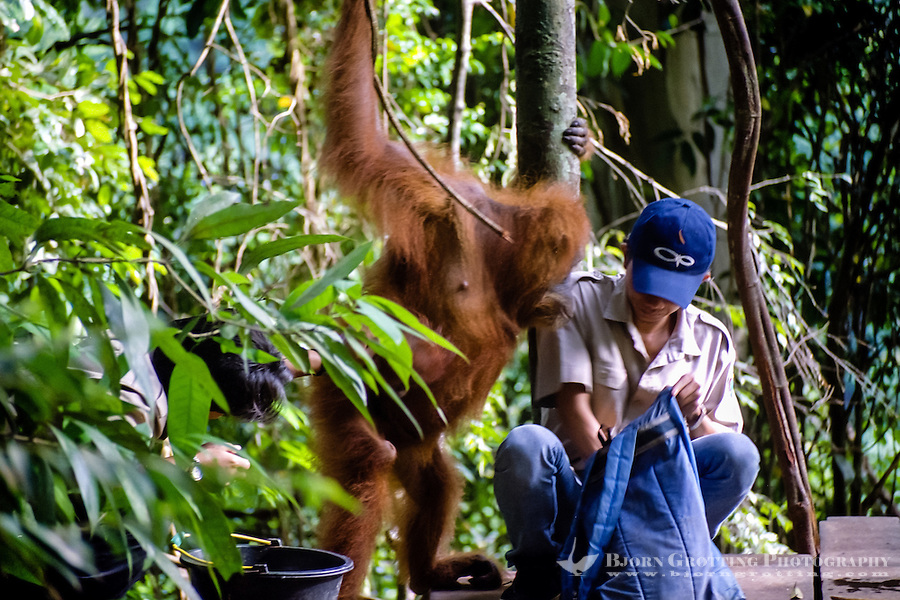 Indonesia, Sumatra. Bukit Lawang. Gunung Leuser National Park. The orangutan sanctuary of Bukit Lawang is located inside the park. At the feeding platform.