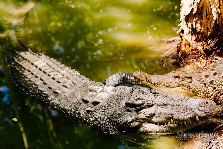 Image Ref: A146<br /> Location: Hartley's Crocodile Adventures, Port Douglas<br /> Date: 12 April 2015
