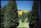View of pine trees with yellow aspens on hillside in background.