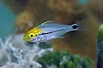 Anisotremus virginicus, Porkfish, juvenile, Florida Keys
