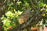 Sandals Royal Bahamian Resort. Tropical bird on tree limb.