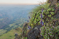 Flowers growing on a steep slope in the Sien Mountains National Park, Ethiopia