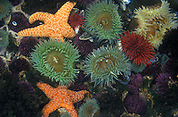 jz1134. tidepool marine life including Giant Green Sea Anemones (Anthopleura xanthogrammica) Ochre Sea Stars (Pisaster ochraceus) Red Sea Urchins (Stronglyocentrotus franciscanus) and Purple Sea Urchins (Stronglyocentrotus purpuratus). Pacific Ocean.Photo Copyright © Brandon Cole. All rights reserved worldwide.  www.brandoncole.com..This photo is NOT free. It is NOT in the public domain. This photo is a Copyrighted Work, registered with the US Copyright Office. .Rights to reproduction of photograph granted only upon payment in full of agreed upon licensing fee. Any use of this photo prior to such payment is an infringement of copyright and punishable by fines up to  $150,000 USD...Brandon Cole.MARINE PHOTOGRAPHY.http://www.brandoncole.com.email: brandoncole@msn.com.4917 N. Boeing Rd..Spokane Valley, WA  99206  USA.tel: 509-535-3489