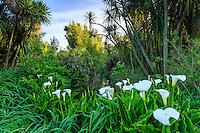 France, Manche (50), Vauville, Jardin botanique du château de Vauville, arums (Zantedeschia aethiopica) bardant un petit canal  et cordylines australes (Cordyline australis)