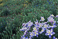 Wildflowers in alpine meadow,Blue Columbine,Colorado Columbine,Aquilegia coerulea, Ouray, San Juan Mountains, Rocky Mountains, Colorado, USA, July 2007