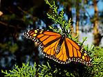 Monarch butterfly in Santa Cruz
