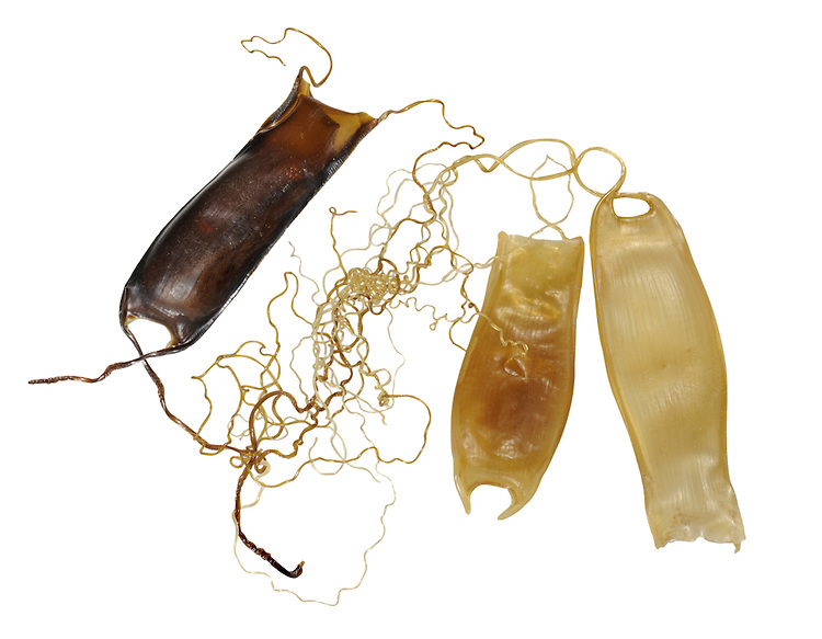 Lesser Spotted Catshark (Dogfish) Scyliorhinus canicula egg case Length to 4cm<br /> Capsule small, relatively narrow and translucent; has long curling tendrils at corners, and may be found in small groups.