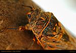 Apache Cicada Head Detail, Diceroprocta apache, Abiquiu, New Mexico