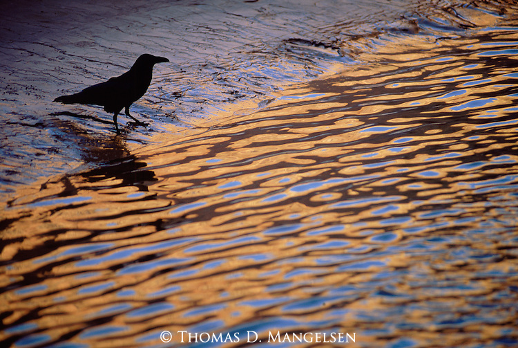 A raven stands on the bank of the Colorado River, contrasting with the colors of the Grand Canyon reflected in the water.