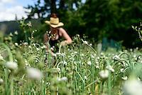 GERMANY Witzenhausen, garlic farming at farm, cultivation of different and old varieties / DEUTSCHLAND, Witzenhausen, Knoblauch Anbau und Ernte, Anbau verschiedener und alter Knoblauchsorten