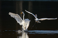 Courtesy photo/TERRY STANFILL<br /> LANDING GEAR DOWN<br /> Great egrets land at Swepco Lake near Gentry. Terry Stanfill of the Decatur area took the photo in August near the Eagle Watch Nature Trail at the lake.