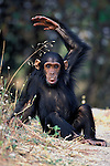 Youngster Flirt pouts and gestures her frustration over being weaned. Female Eastern Chimpanzee (Pan troglodytes schweinfurthii). Gombe National Park, Tanzania, East Africa. Jane Goodall Institute/GSRC