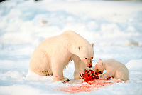 polar bears, Ursus maritimus, mother and cub feeding, Spitzbergen, Norway