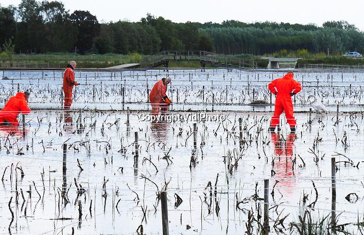 Foto: VidiPhoto<br /> <br /> ELST – Brandweervrijwilligers van Elst (Gld) hebben zaterdag met de grootst mogelijk moeite een zwaan uit het pas aangelegde moeras van landschapspark Lingezegen tussen Elst en Arnhem gered. In het meest westelijke deel van het natuurpark zijn jonge rietplanten gezet. Om die te beschermen en ongestoord te laten groeien, zijn er linten gespannen tegen ganzen en zwanen. Pas na vijf jaar worden die weer verwijderd. De linten hebben echter een averechts effect, vertelt buurvrouw Ellen van Londen uit Arnhem. Zwanen zien de linten niet, vliegen er in en kunnen vervolgens niet meer opstijgen. Ook wegzwemmen lukt niet omdat het rietveld met gaas is afgezet. Vorig week wist ze zelf een zwaan te redden. Zaterdag moest de brandweer er aan te passen komen door een gat in de omheining te knippen en de zwaan -die er al vier dagen vast zat- daar doorheen te jagen.