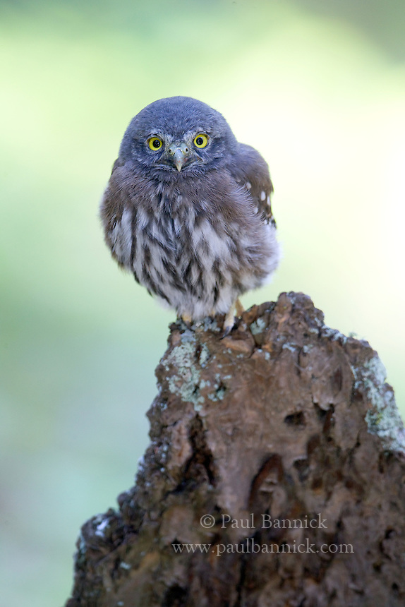 A Fledgling Northern Pygmy Owl (Glaucidium gnoma) waits for food atop a snag he climbed in the Rocky Mountains in Jefferson County, Colorado.