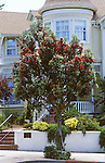 15789-CB New Zealand Christmas Tree, Metrosideros excelsus, in bloom in June in front of Victorian home in Pacific Grove, CA USA