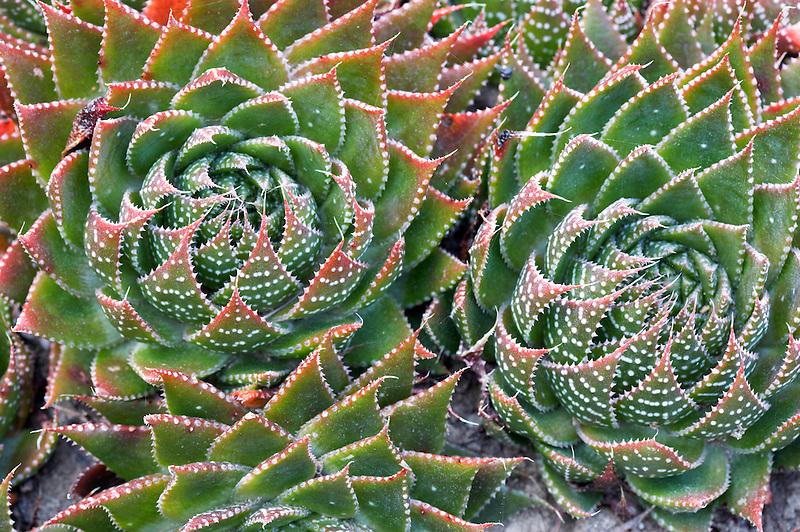 Aloe plant X Gasteraloe 'Royal Highness'.Mendoceno Coast Botanical Gardens. California