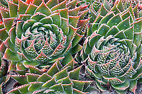 Aloe plant X Gasteraloe 'Royal Highness'.Mendoceno Coast Botanical Gardens. California