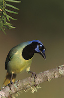 Green Jay, Cyanocorax yncas, adult, Lake Corpus Christi, Texas, USA, March 2003