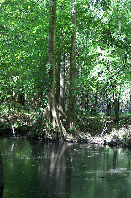 The ribbed buttressed trunks are characteristic of cypress trees.