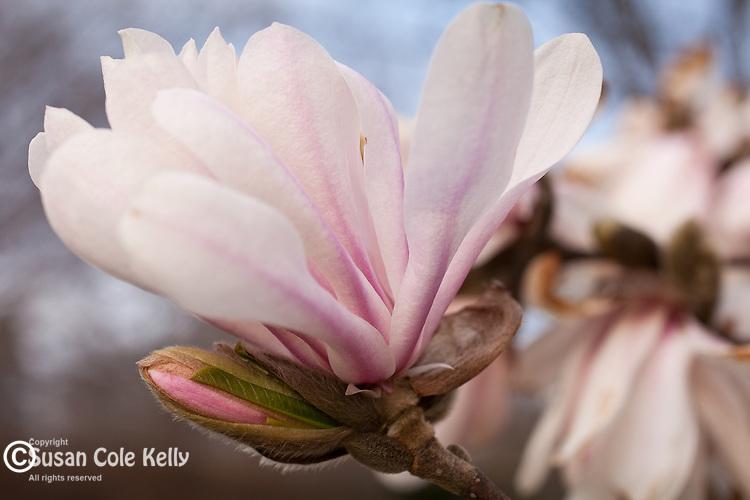 Magnolia blooms in Mt Auburn Cemetery, Cambridge, MA, USA