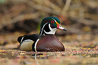 Adult male wood Duck (Aix sponsa) in spring. King County, Washington. March.