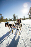USA, Oregon, Bend, the sled dogs pulling passengers around Mt. Bachelor during a dog sled ride