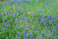 USA, Washington, Columbia River Gorge National Scenic Area, Common camas bloom in Catherine Creek area.