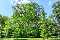 France, Indre-et-Loire (37), Azay-le-Rideau, parc et château d'Azay-le-Rideau au printemps, trois grands cyprès chauve (Taxodium distichum) en rive d'un bras de l'Indre