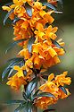 Berberis linearifolia, mid April.