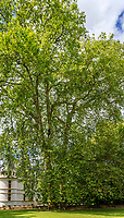 France, Indre-et-Loire (37), Azay-le-Rideau, parc et château d'Azay-le-Rideau au printemps, platanes remarquable par leur hauteur (± 47 m / 150-20ans)