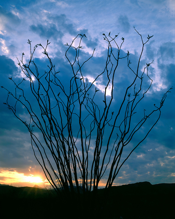 Ocotillo silhouetted at sunrise in Tuff Canyon; Big Bend National Park, TX