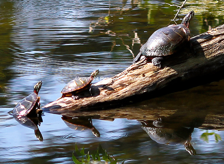 Litchfield, CT-03 August 2012-080312CM02- Turtles soak up a late afternoon summer sun on a log on Ongley Pond Friday afternoon at White Memorial in Litchfield.  According to the National Weather service, Saturday is expected to be mostly sunny, with a high near 87.    Christopher Massa Republican-American